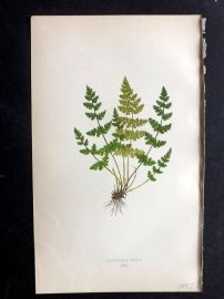 Lowe 1869 Antique Fern Print. Cystopteris Regia 67